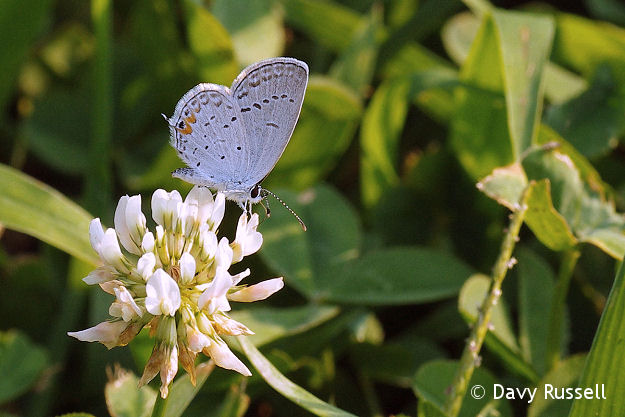 Eastern Tailed Blue (Cupido comyntas) on white clover.