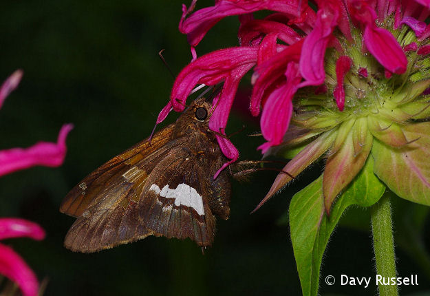 Silver-spotted Skipper (Epargyreus clarus) on Bee Balm