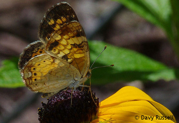 Pearl Crescent (Phyciodes tharos) on Black-eyed Susan