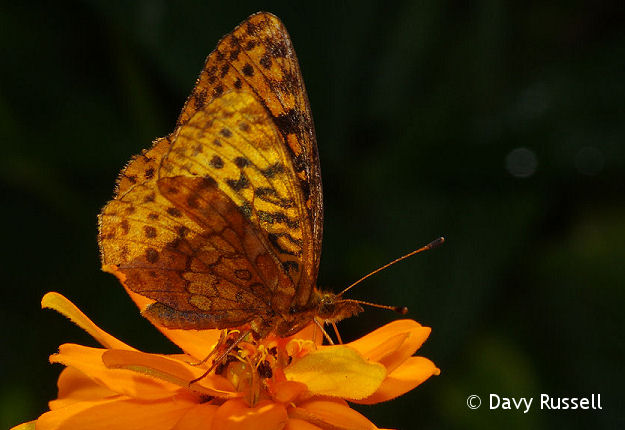 Fritillary sp. on Profusion Zinnia