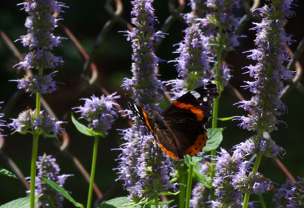 Red Admiral on Hyssop.