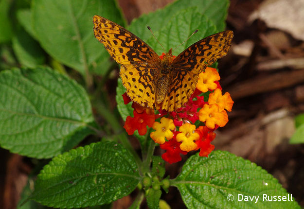 Lantana with fritillary butterfly.