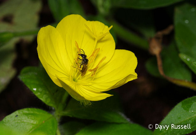 Sundrop with Pollinator