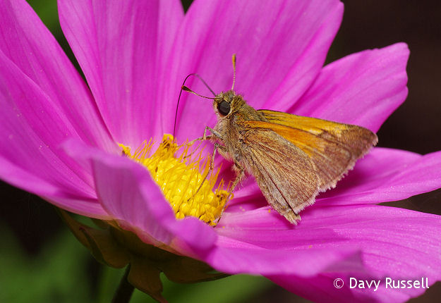 Tawny-edged Skipper (Polites themistocles) on Cosmos