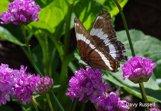 White Admiral Butterfly on Thrift